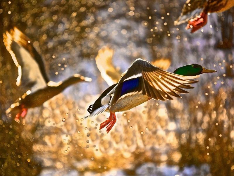 ВСаратовской области открывается сезон охоты напернатую дичь