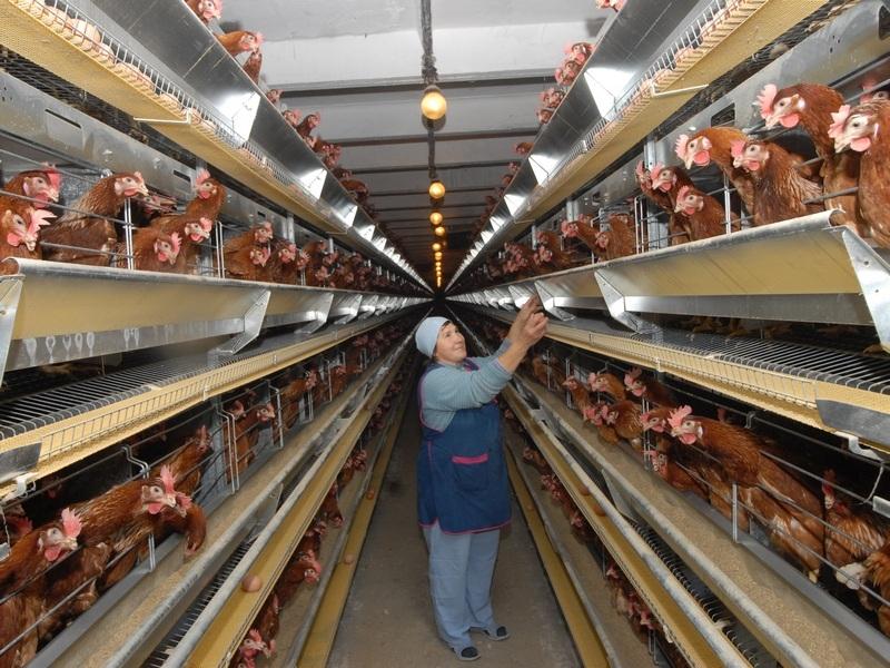 Птицефабрике вШексне угрожает отключение газа замногомиллионный долг