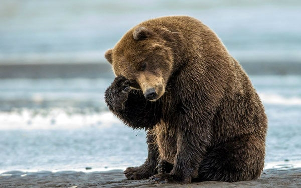 Вскоре ибалалайка: ФСБ потребовала признать медведей стратегически существенным ресурсом