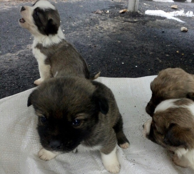 В Вытегорском районе инспекторы ГИБДД спасли брошенных на трассе щенков (ФОТО)