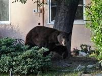 В Коми идет нашествие медведей