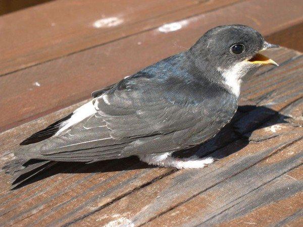 Стрижи - птицы небольших размеров с плотным телосложением, уплощенной и...